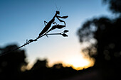 Praying Mantis in the backlight of the evening sun, Natural Habitat, Forest, Gorges du Blavet, Cote d'Azur, France