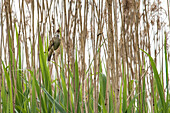 Drosselrohrsänger im Schilf, Schilfgürtel am Flussufer, Biosphärenreservat, Kulturlandschaft, Spreewald, Brandenburg, Deutschland