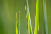 Insect on a blade of grass, Insect, Beetle, Brandenburg, Germany