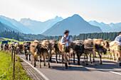 Cows wearing bells for the Almabtrieb, Rubihorn, Schoellang, Oberallgaeu, Allgaeu, Oberallgaeu, Alps, Germany