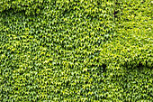 House wall covered in vine leaf, Holiday, Family holiday, Summer, Vacation, Spreewald, Oberspreewald, Brandenburg, Germany