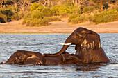 African elephant (Loxodonta africana) playing in river, Chobe River, Botswana, Africa