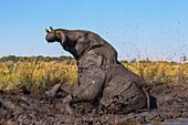 African elephant (Loxodonta africana) mudbathing, Chobe River, Botswana, Africa