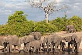 African elephants (Loxodonta africana) drinking at river, Chobe River, Botswana, Africa