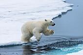 Eisbärjunges (Ursus maritimus) springt über das Wasser, Spitzbergen Island, Svalbard Archipel, Arktis, Norwegen, Skandinavien, Europa