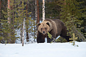 Brauner Bär (Ursus arctos) im Frühjahr Schneefall, Finnland, Skandinavien, Europa