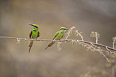 Green bee eater, Ranthambhore National Park, Rajasthan, India, Asia