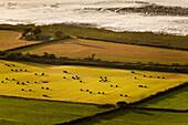 Seaside Farm, Heuballen Pfeffer üppige Ackerland und bunte Felder in Abend Sonnenlicht in der Nähe Aber, Snowdonia, Wales, Großbritannien, Europa