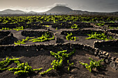 Vineyards near La Florida, showing halfmoon shaped zocos (stone walls) protecting the vines from strong Canarian winds, Central area, Lanzarote, Canary Islands, Spain, Europe