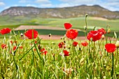 Field of cereal, poppies, Agricultural field, Sorlada, Navarre, Spain