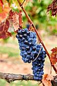 Grenache grape, Vintage, Briones, La Rioja, Spain, Europe