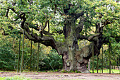 Major Oak, Sherwood Forest, supported with metal props. Nottinghamshire.