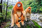 Asia, China, Shaanxi province, Qinling Mountains, Golden Snub-nosed Monkey Rhinopithecus roxellana, near by a river.