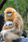 Asia, China, Shaanxi province, Qinling Mountains, Golden Snub-nosed Monkey Rhinopithecus roxellana, mother and baby.