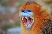 Asia, China, Shaanxi province, Qinling Mountains, Golden Snub-nosed Monkey (Rhinopithecus roxellana), adult male, aggressive attitude.