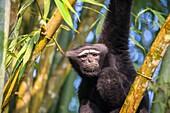 South east Asia, India,Tripura state,Gumti wildlife sanctuary,Western hoolock gibbon (Hoolock hoolock),adult male.