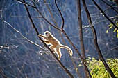 Asia, China, Shaanxi province, Qinling Mountains, Golden Snub-nosed Monkey (Rhinopithecus roxellana), youg playing in the tree.