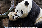 Giant Panda cub and its mother showing affection in the rain in North America, USA.