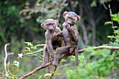 Young Olive baboons (Papio cynocephalus anubis) playing together in tree,Akagera National Park, Africa.