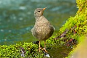American dipper along McKenzie River National Recreation Trail, McKenzie Wild and Scenic River, McKenzie Pass-Santiam Pass National Scenic Byway, Willamette National Forest, Oregon.