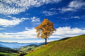 The autumn colors of a tree overlooking Val di Funes and St. Magdalena village. In the background the Odle Mountains. Dolomites.