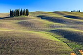 Cypresses in San Quirico d' Orcia, Orcia Valley, Siena Province, Tuscany, Italy, Europe.