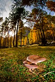 Mushrooms under the woods, in autumn time. (Champorcher's valley, Aosta Valley, Italy).
