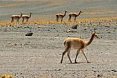 Guanaco (Lama guanicoe), Nevado Tres Cruces National Park, Region III of Atacama, Chile, South America.