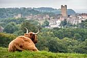 Scottish Highland Cow in Richmond, England, UK.