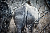 Back Side of a Rhinoceros (Rhinocerotidae) at Hlane Royal Game Preserve, Swaziland, Africa.
