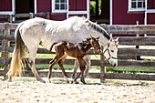 Newborn foal walking next to its mother on a farm.