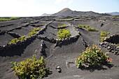 La Geria area, Lanzarote island, Canary archipelago, Spain, Europe.
