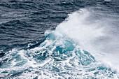 Adult cape petrel, Daption capense, in rough seas in English Strait, South Shetland Islands, Antarctica.