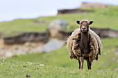 Foula Sheep on the Island of Foula, Shetland Islands. Foula Sheep are an extremely hardy, colorful and traditional breed of sheep, which survived only on Foula, it is traced back to the domestic sheep of the vikings. Europe, northern europe, great britain