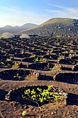 Lanzarote, Canary Islands. Traditional cinder rock wind shelter walls protect grape vines in volcanic landscape around La Geria.