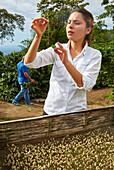 Germinated coffee, Hacienda San Alberto, Cafetal, Coffee plantations, Coffee Cultural Landscape, Buenavista, Quindio, Colombia, South America