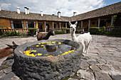 Lamas at Hacienda San Augustin de Callo, Lama glama, Cotopaxi National Park, Galapagos, Ecuador