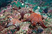 Knobby Starfish, Pentaceraster cumingi, Baltra Island, Galapagos, Ecuador