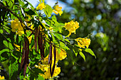 Yellow Trumpet Tree, flowers and fruits, Tecoma stans, tropics, Central America