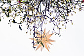 Mistletoe (Viscum album )