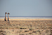Giraffes in the Etosha National Park, Namibia, Africa.