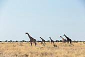 Giraffes in the Etosha National Park, Namibia, Africa