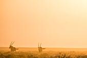 Oryx Antelops at sunrise in the Etosha National Park, Namibia, Africa.