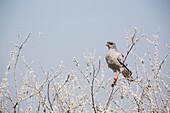 Pale Chanting Goshawk in the Etosha National Park, Namibia, Africa