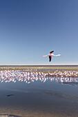 Flamingos in Walvis Bay, Atlantic coast, Namibia, Africa.