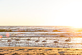Flamingos strutting at sunset on a Atlantic beach between Walvis Bay and Swakopmund, Erongo, Namibia, Africa.