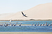 Pelican soaring in strong winds above the lagoon of Sandwich Harbour, Walvis Bay, Erongo, Namibia, Africa.