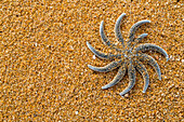 starfish on golden sand, Abel Tasman National Park, South Island, New Zealand