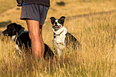 two, sheep dogs, working dogs next to farmer in shorts, shepherd, animal, South Island, New Zealand