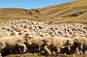 rounding up mob of merino sheep, dry landscape, nobody, wool, animal, High Country, Earnscleugh Station, Central Otago, South Island, New Zealand